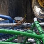 O Grilo curtindo em cima da gaiola do meu equipamento a bonanza da chuva